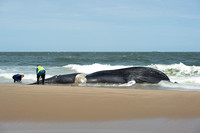 4 May Whale Death