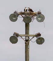 24 March Ospreys in Lewes